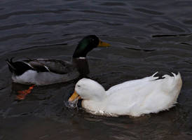 more ducks by duckpondevans