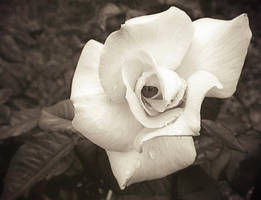 monotone rose by duckpondevans