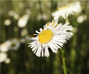 wildflowers by duckpondevans