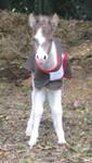 mini horse foal XD by XxIma-DreamerxX