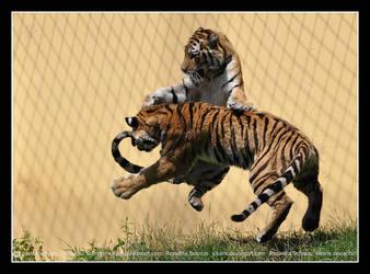 Siberian Tiger (006) - midair fight by Sikaris