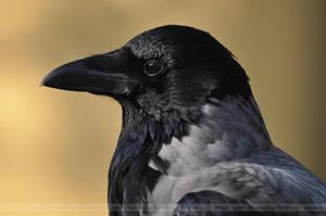 Crow (002) - observer by Sikaris
