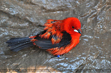 Tanager (001) - Blood-red Bath by Sikaris