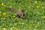 Squirrel (002) - Spring by Sikaris