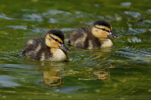 Mallard (002) - ducklings by Sikaris