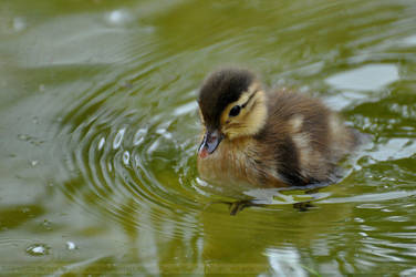 Aix galericulata (003) - duckling by Sikaris