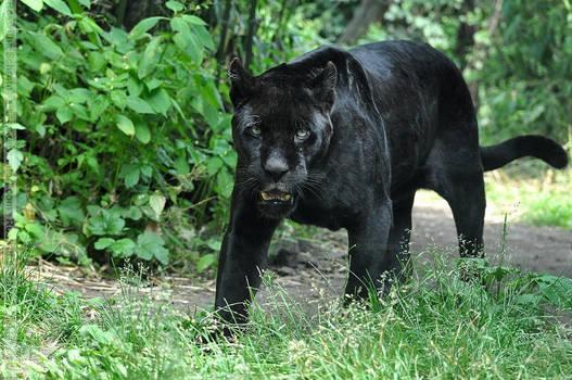 Black Jaguar (004) - Joschi by Sikaris