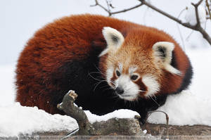 Red Panda (003) by Sikaris