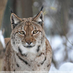 Eurasian Lynx (001) by Sikaris