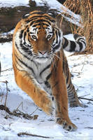 Siberian Tiger (020) - high spirits by Sikaris