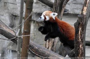 Red Panda (004) by Sikaris