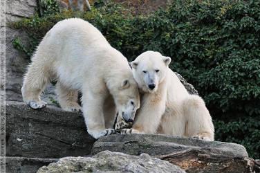 Polar Bear (006) by Sikaris