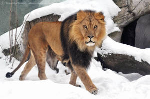 Lion (007) - His Majesty in winter by Sikaris