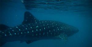 Whale of a Shark by Ebonenee