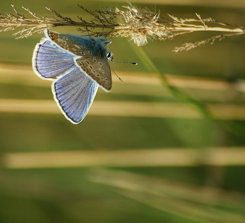 Polyommatus icarus.o5 by amensis
