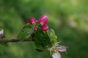 Plum tree in spring by korenwolf
