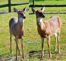 Deer/Doe Stock Images by daftopia