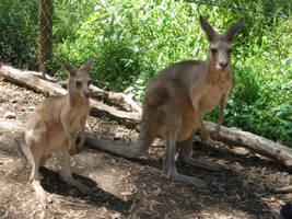 The roos or kangaroos by southernmari