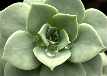 Succulent by Ranzy