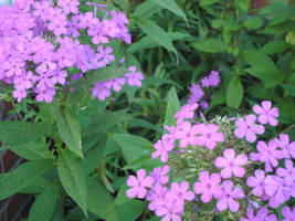 Garden Phlox by SmileForGooper