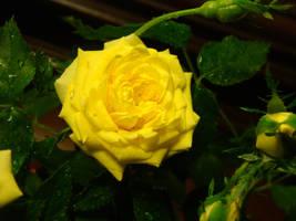 Sunny Yellow Rose by SmileForGooper