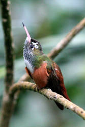 Hummingbird by Dromera