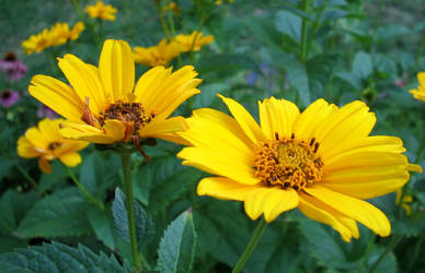 Heliopsis by flugal
