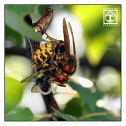 The Hornet's Upside-Down Meal by SchwarzWieEbenholZ