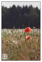 Poppy-Red by SchwarzWieEbenholZ