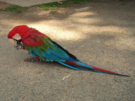 Green-winged Macaw by Taitai03