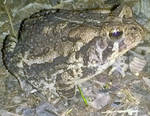 Camouflaged Toad by AncientEchidna