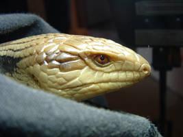 Blue tonge lizard 2 by sam-man