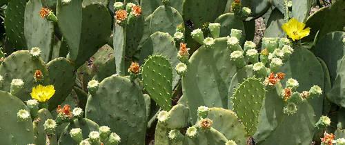 Cactus Flowers by jensaarai
