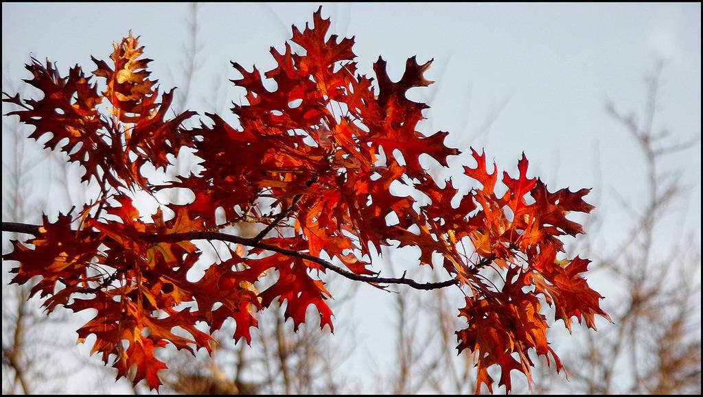 Red Leaf by jensaarai