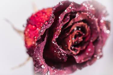 rose by mario-draco