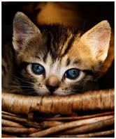 kitten9 by voytela