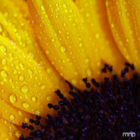 :: sunflower by moiraproject