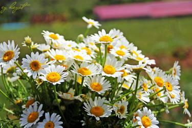 Daisy.. by eyldrm