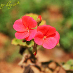 Pink flowers.. by eyldrm