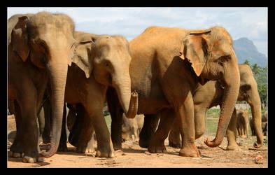 Pinnewela Elephants I by tenetsi
