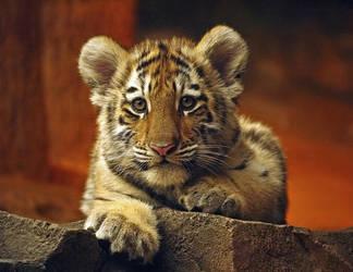 inquisitive cub by ariseandrejoice