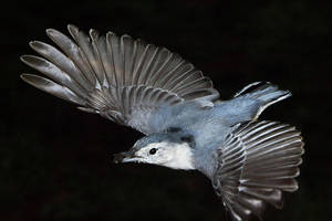 White-breasted Nuthatch in flight by ariseandrejoice