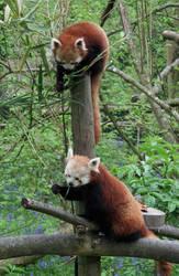 Red Panda by remanem