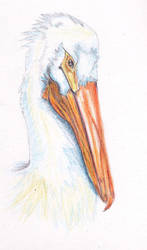 Pelican by BlueCato