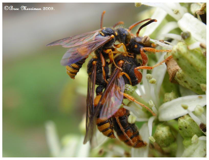 Paper Wasps Three by BreeSpawn