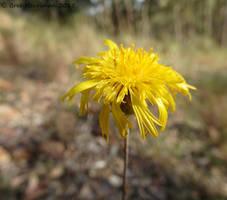Hoary Sunray Daisy by BreeSpawn
