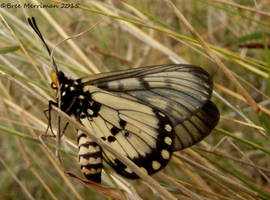 Glasswing Butterfly II by BreeSpawn