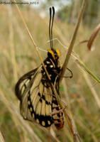 Glasswing Butterfly III by BreeSpawn