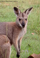 Young Red Necked Wallaby by BreeSpawn