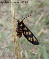 Tiger Moth by BreeSpawn